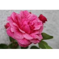 Роза Моден Руби (канадская)