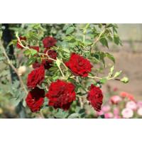 Роза Рэд Каскад (почвопокровные)