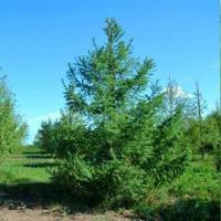 Лиственница Сибирская сеянец ( 10- 20 см)
