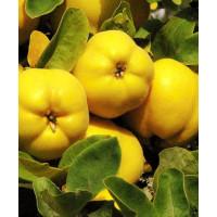 Айва яблоковидная лимонно-жёлтая Медаль