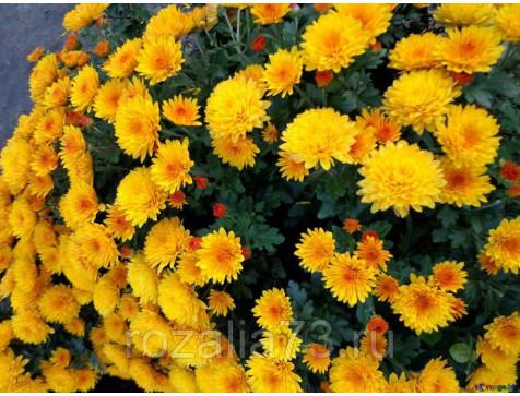 Хризантема Адонис (Мультифлора/Желтая)