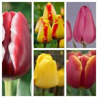 Комплект из 25 луковиц тюльпанов (Армани, Банья Лука, Барселона, Веранди, Голден Парад)