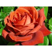 Роза Леонидас (шраб)