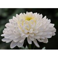 Хризантема Газель (Крупноцветковая/Белая)
