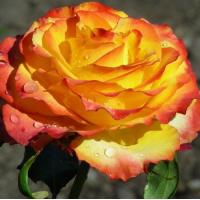 Роза Текила Санрайз(чайно-гибридная)