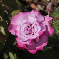 Роза Аметист(чайно-гибридная)