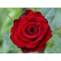 Роза Ред Наоми(чайно-гибридная)
