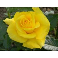 Роза Фрезия(чайно-гибридная)
