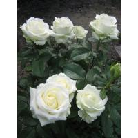 Роза Клер океан(чайно-гибридная)