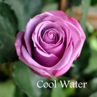 Роза Кул Вотер(чайно-гибридная)