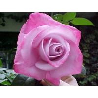 Роза Пинк Парадайз(чайно-гибридная)