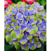 Гортензия Magical Amethyst blue (крупнолистная)