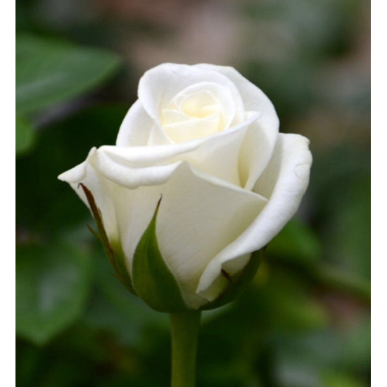 Роза Akito (Акито)(чайно-гибридная)