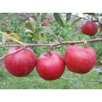 Яблоня Радогость