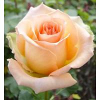 Роза Версилия(чайно-гибридная)