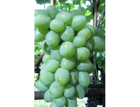 Виноград Белый Кокл (Средний/Белый)