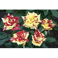 Роза Симсабелла(чайно-гибридная)