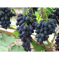 Виноград Фурор (Ранний/Черный)