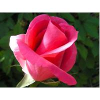 Роза Ланком(чайно-гибридная)