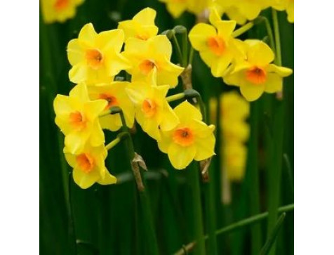 Нарцисс Мартинетта (желтый)