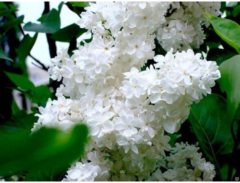 Сирень белая Жанна Д`Арк